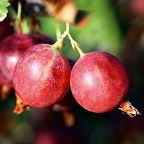 soft fruit growing guide