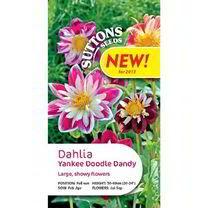 Dahlia Seeds - Yankee Doodle Dandy