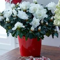 Azalea Mont Blanc Plant - White