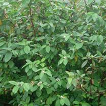 Cornus alba Bare Roots