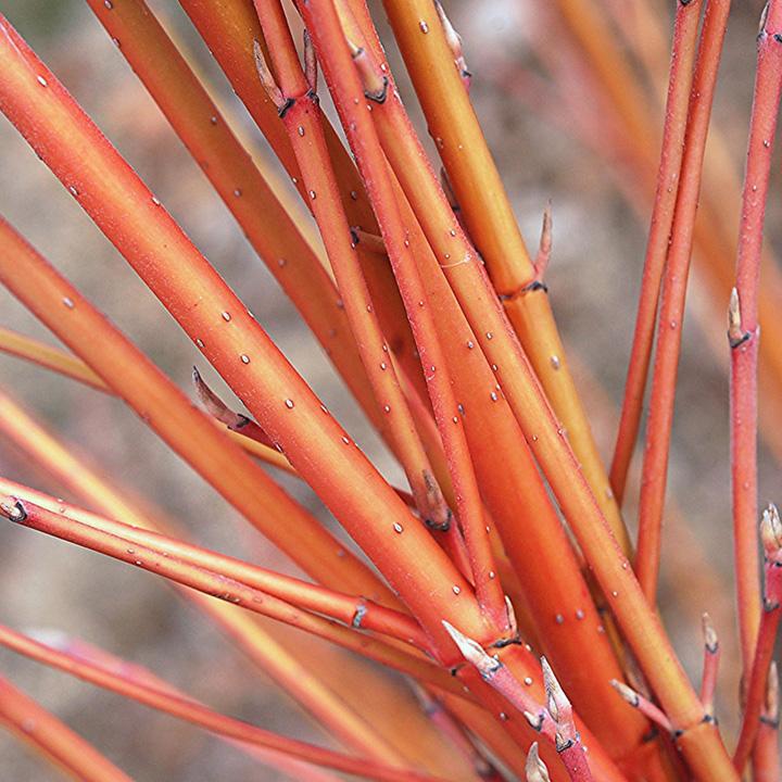 Cornus Sanguinea Bare Roots