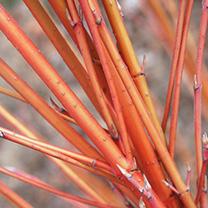 Cornus Sanguinea Bare Roots - 60/90cm