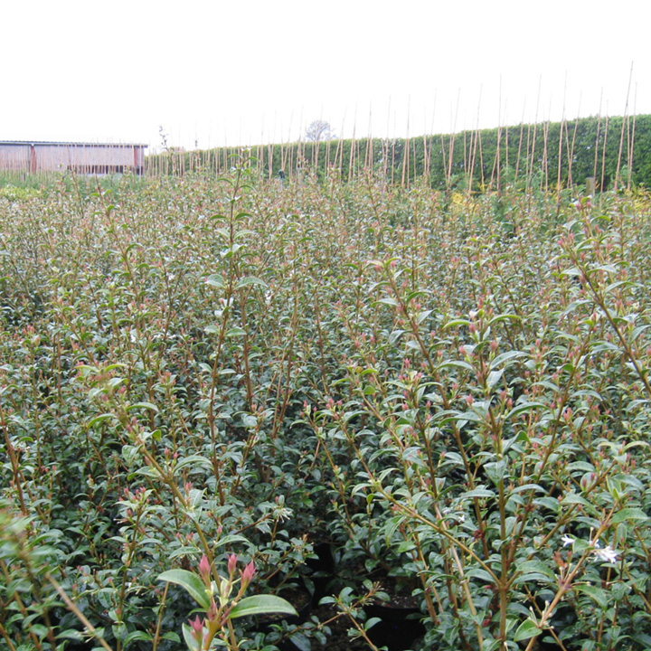 Cotoneaster franchetii Bare Roots