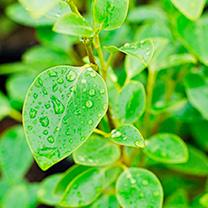 Griselinia Bare Roots - 60/90cm