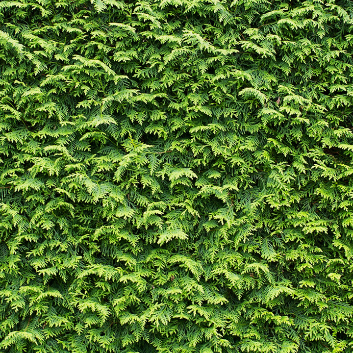 Cupressocyparis Leylandii Potted Plants
