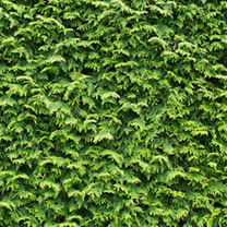 Cupressocyparis Leylandii Potted Plants - 60/90cm