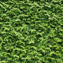 Cupressocyparis Leylandii Plants 60/90cm