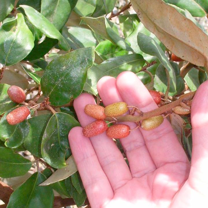 Elaeagnus x ebbingei Potted Plants