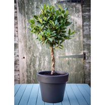 Bay Double Twisted Stem Tree x 2