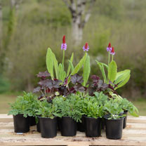 Front of Border Perennial Plant Collection