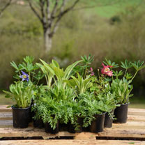 Middle of Border Perennial Plant Collection