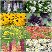 100 Perennial Plants Lucky Dip