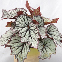 Begonia Plant - Star Light