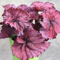 Begonia Plant - Rosy Jewel
