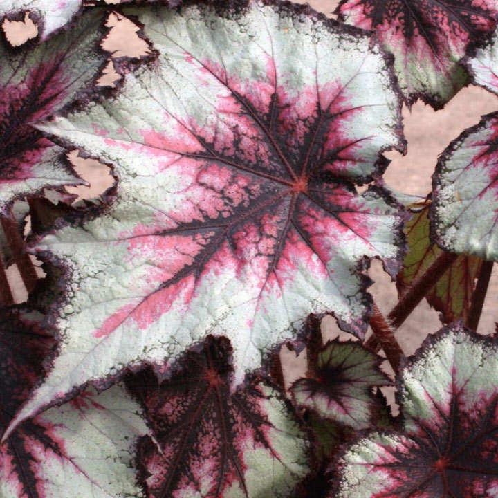 Begonia Plant - Silver Spirit