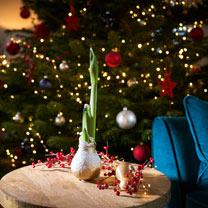 Amaryllis Bulb - Wax Gold Snow (Red Amaryllis)