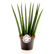 Sansevieria Cylindrica Fan Plant - 9cm
