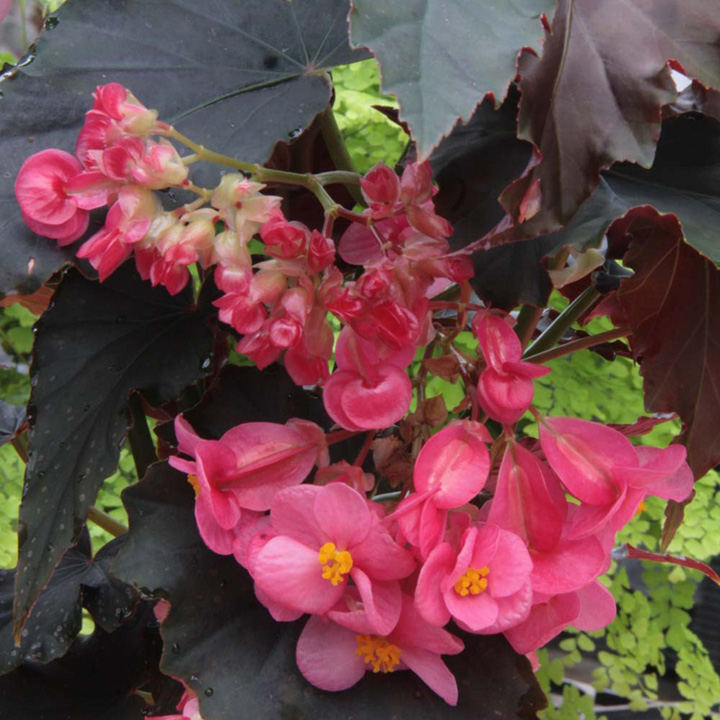 Begonia Plant - Flo Belle Moseley