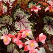 A beautiful begonia. Producing medium white silver leaves with a hint of pink. Rex type. Flowers January-December. Height 31-40cm. TP Tender perennial