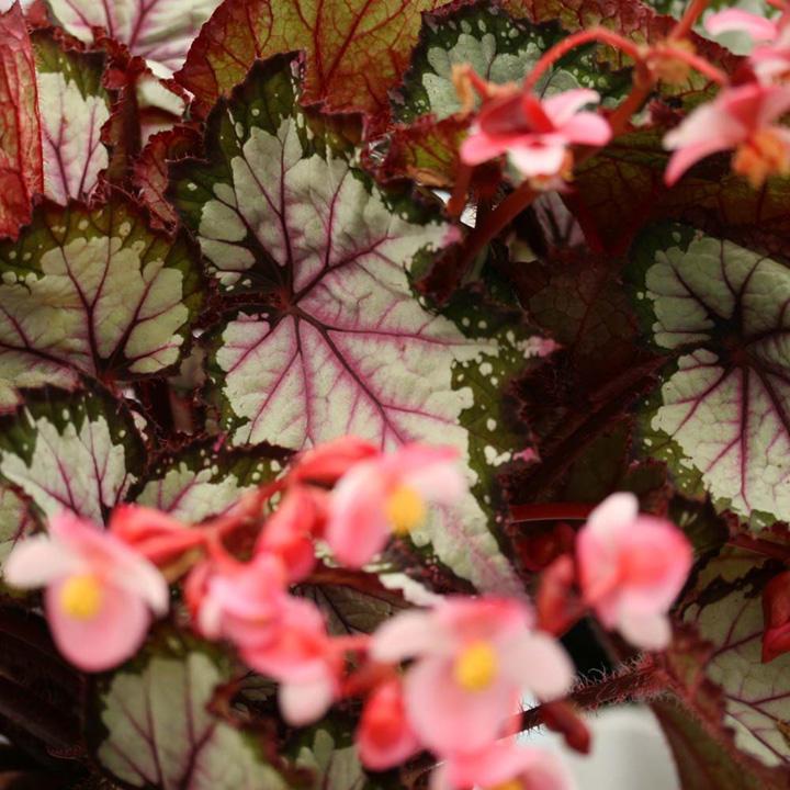 Begonia Plant - My Best Friend