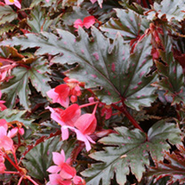 A rewarding begonia. Bushy plant having bronze/green leaves with pink spots. Boasting subtle pink flowers. Cane type. Flowers January-December. Height