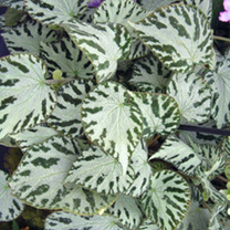 A lovely variety of begonia. The leaves have a silver reflective quality with medium creamy white flowers. Rhizomatous type. Flowers January-December.