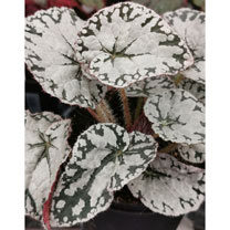 A stunning compact begonia. The silver leaves shimmer in the light with the dark edging producing a delicate pattern. The dark red underneath the leaf