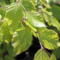 Fagus sylvatica Potted Plants