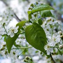Prunus avium Bare Roots - 40-60cm