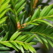 Taxus baccata Potted Plants - 20cm+ x 20