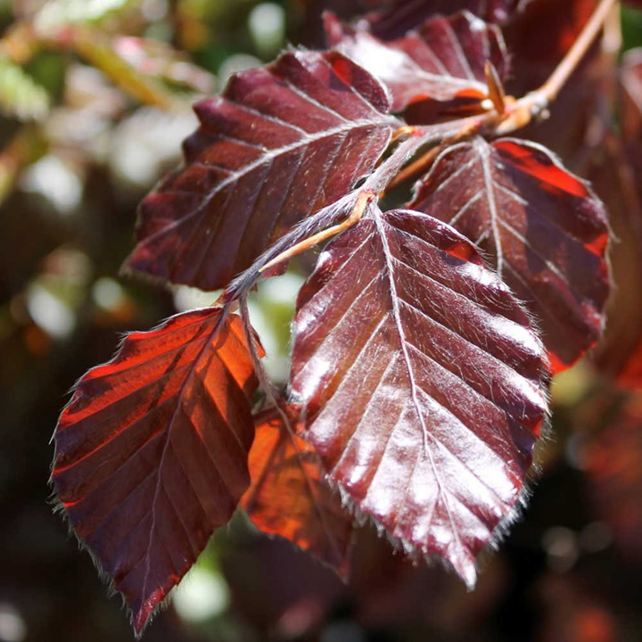 Fagus Sylvatica Atropurpurea Potted Plants