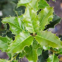 Ilex aquifolium Bare Roots