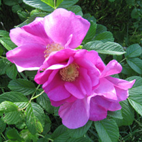 Rosa rugosa Bare Roots - Pink