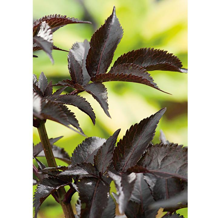 sambucus nigra plant black beauty view all trees and shrubs trees shrubs hedging gardening. Black Bedroom Furniture Sets. Home Design Ideas