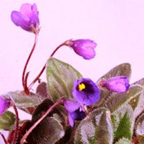 Saintpaulia Plant - Vallarta Campanas Moradas