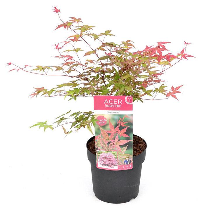 Acer Palmatum Plant - Beni-Malko