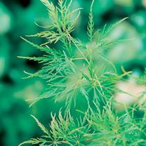 Acer palmatum Plant - Dissectum
