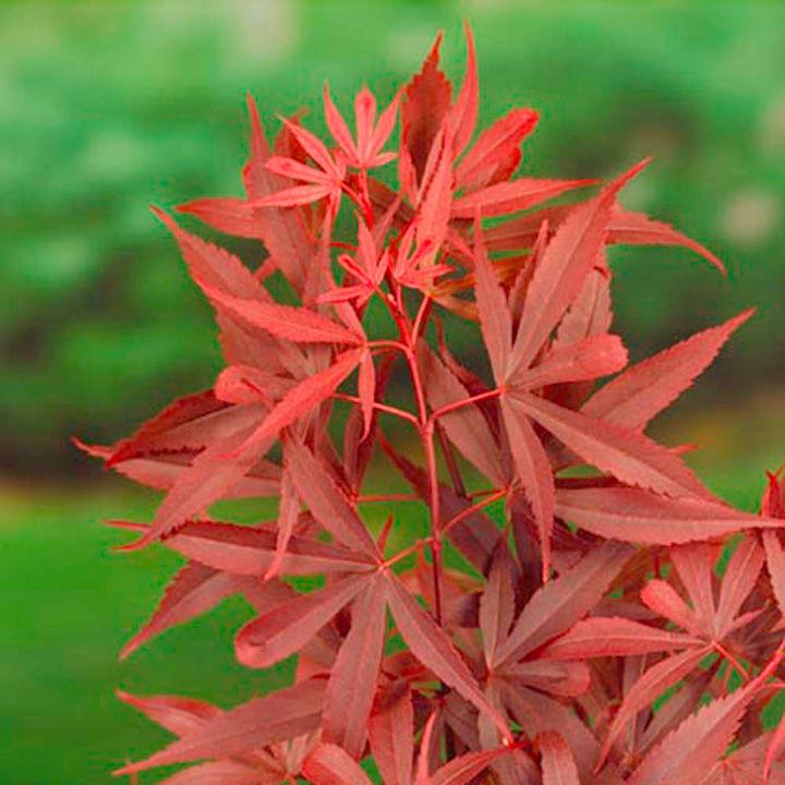 Acer palmatum Plant - Shaina