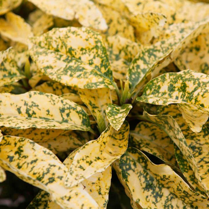 Aucuba japonica Plant - Crotonifolia
