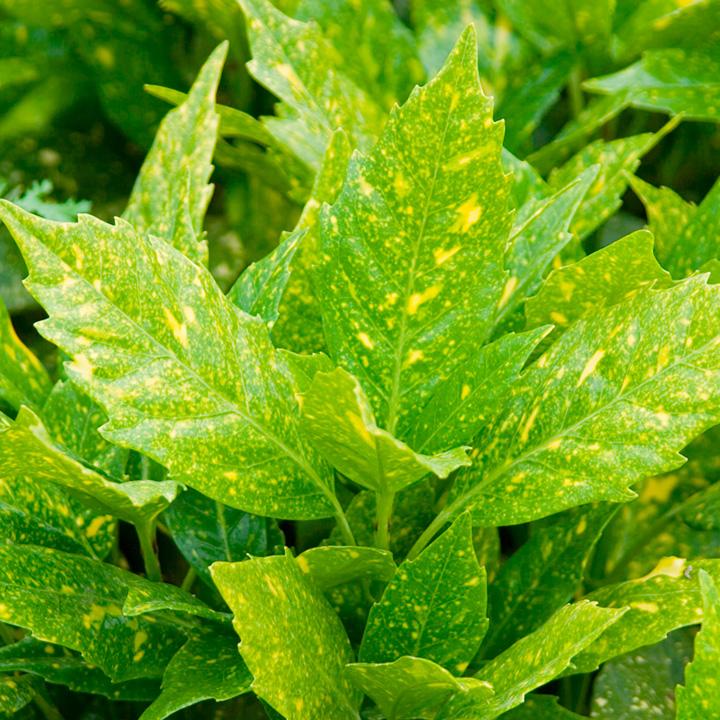 Aucuba japonica Plant - Variegata