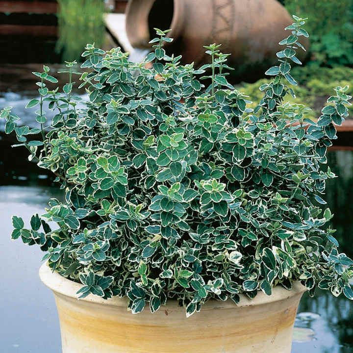 Picture of Live Winter Creeper Euonymus aka Euonymus for. 'Emerald Gaiety' Plant Fit 5 Gallon Pot