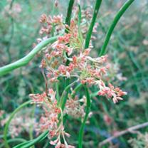 Juncus effusus spiralis Plant