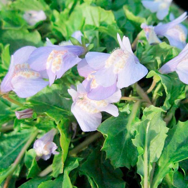 Mazus reptans Plant