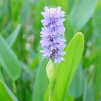 Pontederia cordata Plants