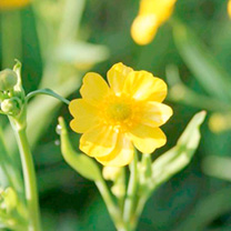 Ranunculus flammula Plants