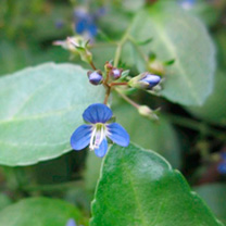 Veronica beccabunga Plants