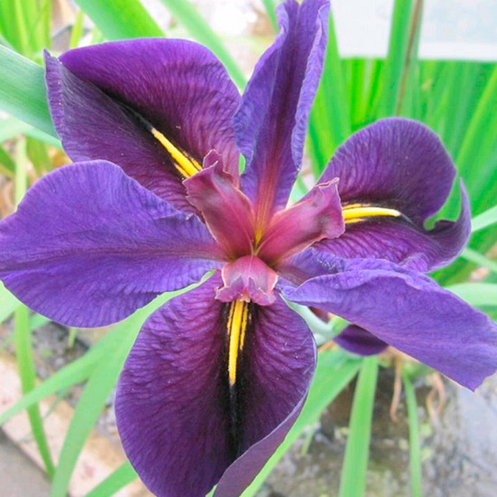 Iris louisiana Plant - 'Black Gamecock'