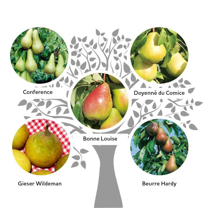 Family Fruit Tree - Pear