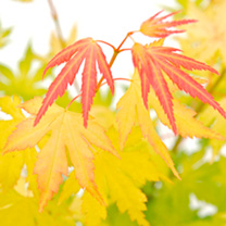 Acer palmatum Plant - Orange Dream