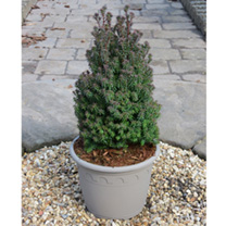 A small, compact upright and conical shaped conifer with blue-green foliage which turn to shades of purple during the autumn and winter when the weath
